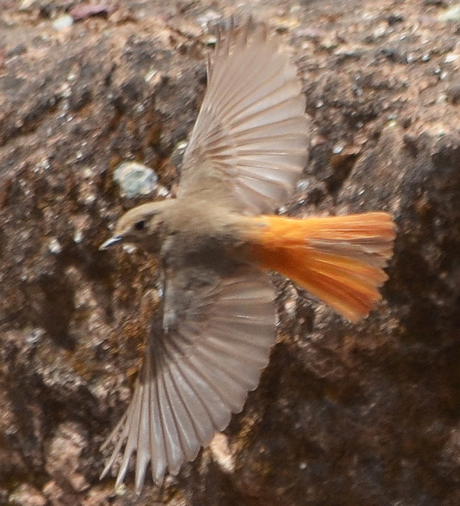 flying black redstart female