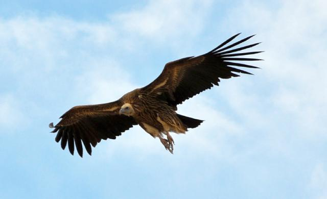 Himalayan Vulture flying