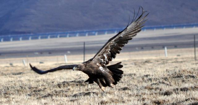 red bearded vulture flying