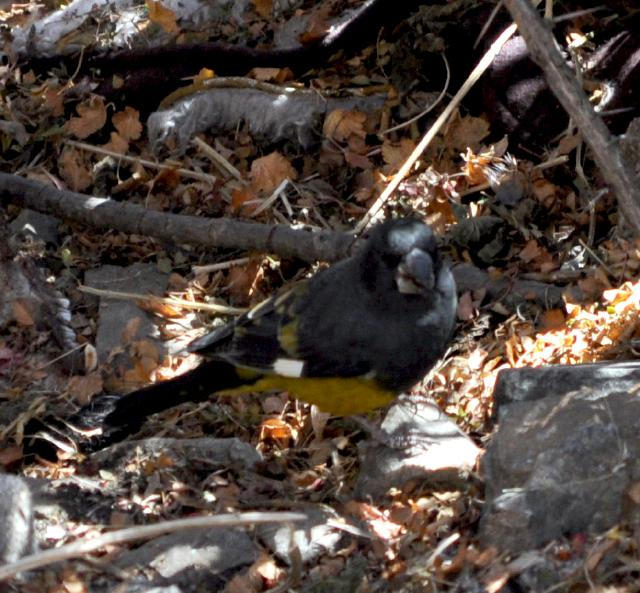 White winged grosbeak