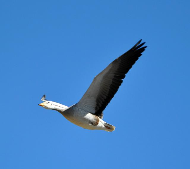 Bar Headed Goose Flying