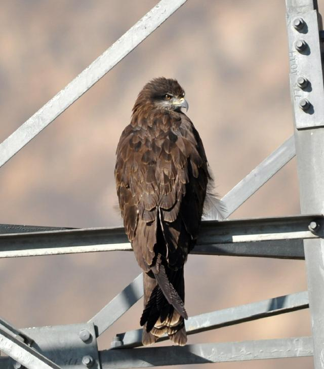 Black Kite on electricity pole