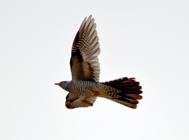 cuckoo flying