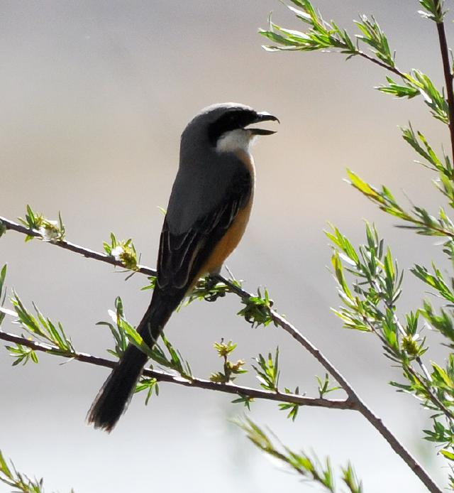 grey shrike