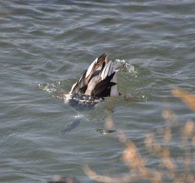 merganser diving