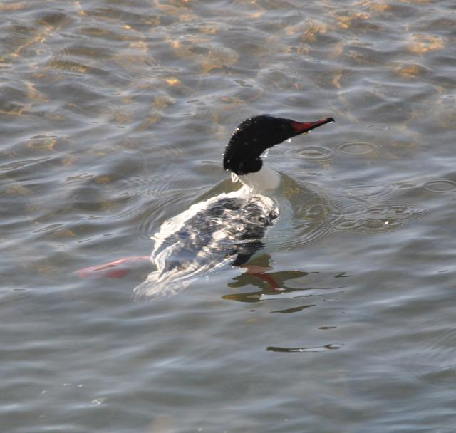 merganser diving6