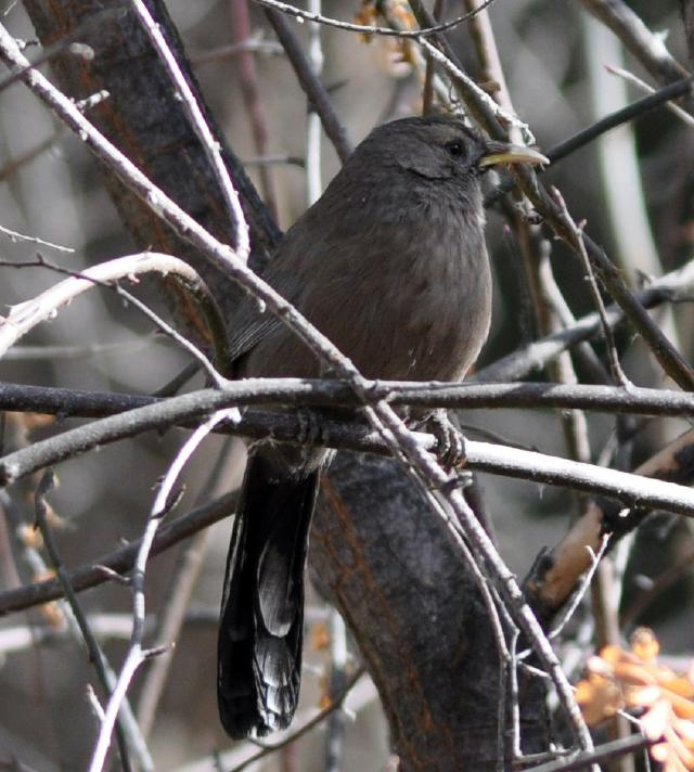 plain laughingthrush