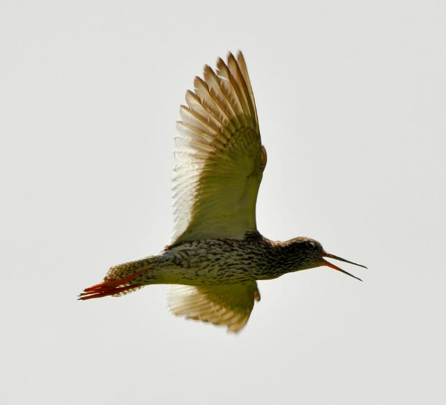 redshank flying