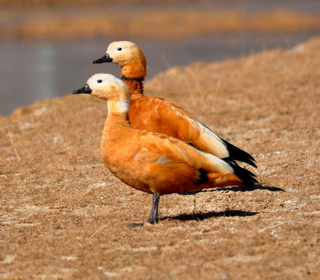 Ruddy Shell Duck couple