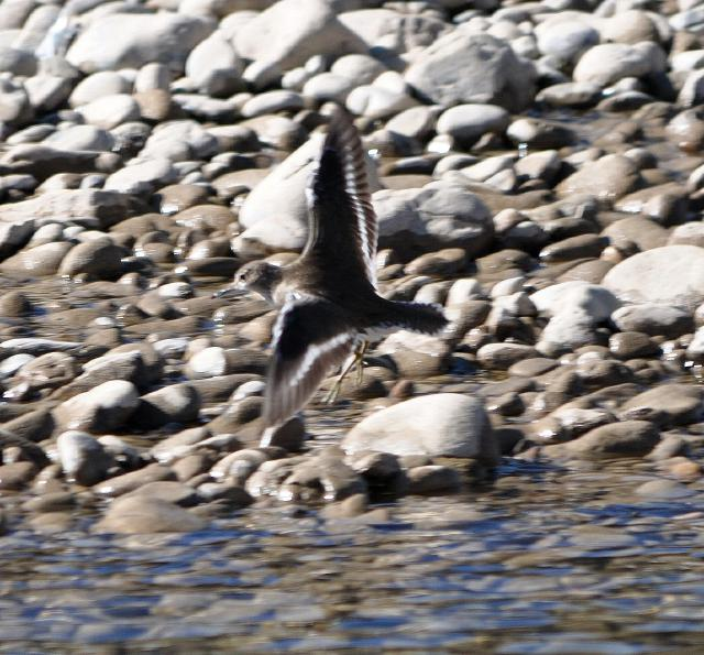 common sandpiper flying
