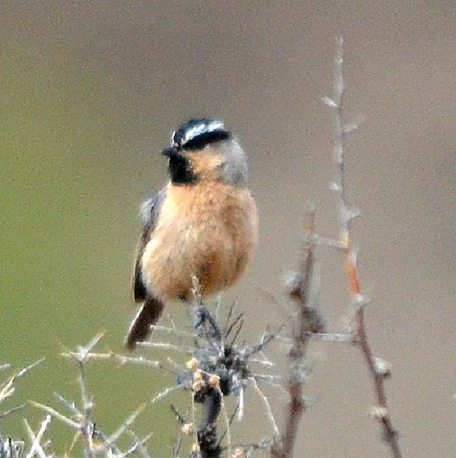 white browed tit